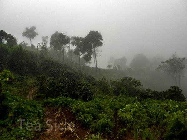 Misty jungle road with coffee bushes, Northern Thailand