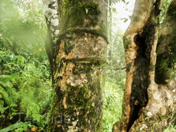 Thousand-year-old tea tree's trunk width