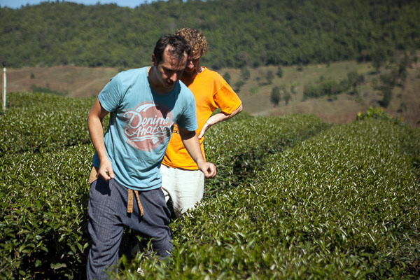 Inspection of the oolong tea plantation